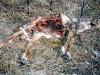 dead caribou mostly eaten by wolf
