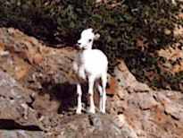 dall sheep ewe