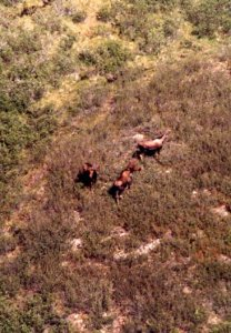 several moose from the air