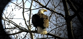 a bald eagle in a tree close up image